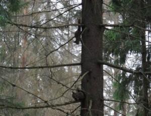 Белки на ветках дерева